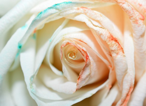 rose with two colors on two sides