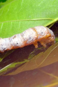 Silkworm and Silkmoth Life Cycle | STEM Activity