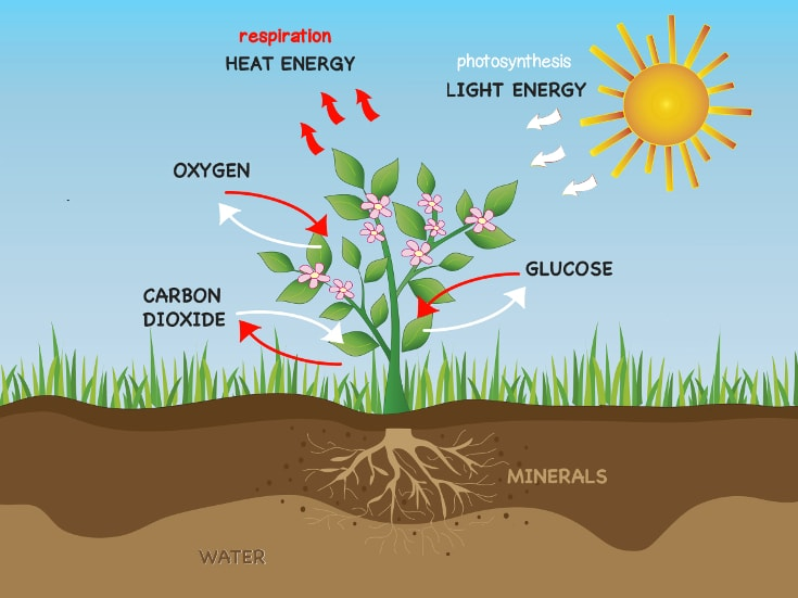 Photosynthesis And Respiration In Plants Synthesis = to join) is the single most important process on earth on which depends the existence of human beings and almost all other living organisms. photosynthesis and respiration in plants